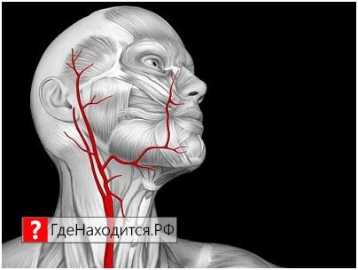Где сонная артерия у человека находится
