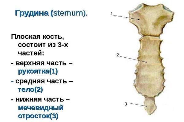 части грудины и на ней мечевидный отросток