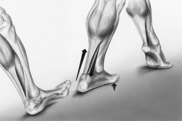 анатомия ахиллесова сухожилия