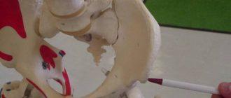 подвздошная кость где находится