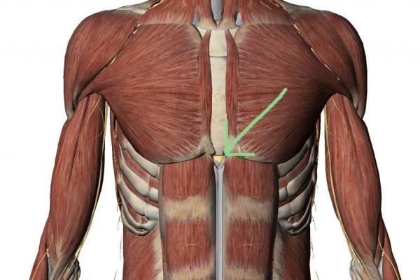 мышцы и мечевидный отросток