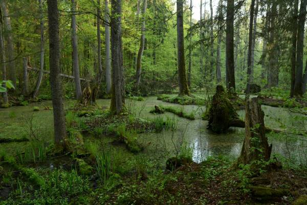 болото в пуще Беловежской в Беларуси