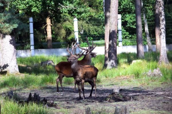пара оленей в Беловежской пуще