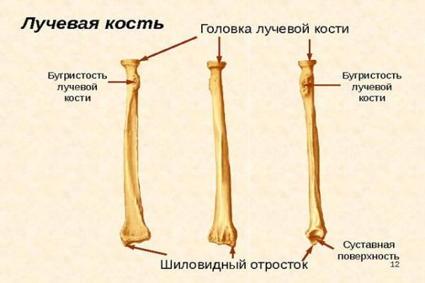 из чего состоит лучевая кость