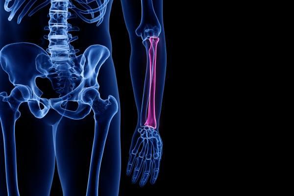 лучевая кость человека находится