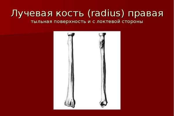 правая лучевая кость
