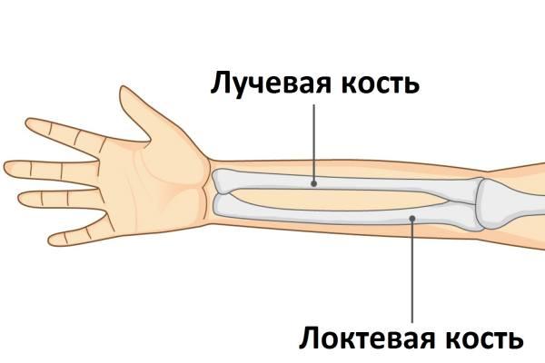 лучевая кость на руке человека